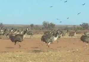 Emus Run Amok in the Outback Amid Worsening Drought [Video]