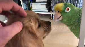 This is what happens when a golden retriever puppy meets a parrot [Video]