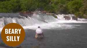 Tourist wades through river to take selfie next to group of bears [Video]
