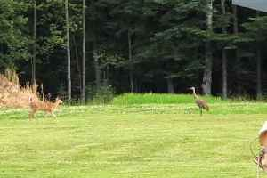 Fawn Scared off By Sandhill Crane [Video]