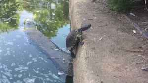 Turtle Tries To Climb Out Of Water (surprisingly suspenseful, LOL!) [Video]