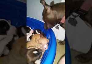 Azula the Pit Bull Watches Over Adorable Foster Puppies [Video]