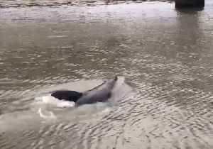 Dolphins and Seal Spotted Playing in Melbourne's Yarra River [Video]