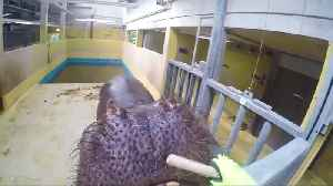 Here's looking at you - feeding time at Cologne Zoo [Video]