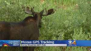 1, 2, 3... Rangers Count Moose At Rocky Mountain National Park [Video]