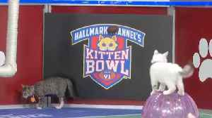 Kittens Rescued From California Wildfires Compete in Annual Kitten Bowl [Video]