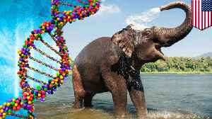 Elephants protected from cancer by 'zombie gene' [Video]