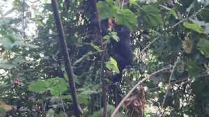 Hungry baby gorilla tumbles off tree while eating [Video]