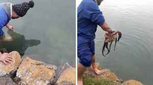 Incredible footage shows man catching two octopus with just his bare hands [Video]