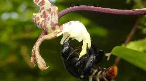 Orchid bee collects perfume from orchid in Amazon rainforest [Video]