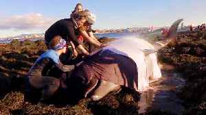 Whale Watchers Team Up to Help Whales Stranded on Iceland Beach [Video]