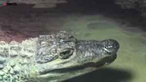 Man accused of keeping a 4ft live CROCODILE [Video]