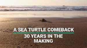 A Sea Turtle Comeback, 30 Years In The Making [Video]
