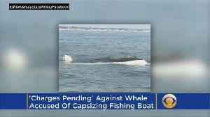'Charges Pending' Against Whale Accused Of Capsizing Fishing Boat [Video]