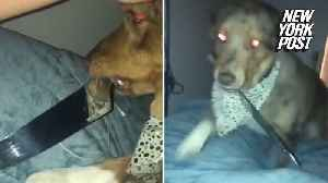 Knife-wielding dog pays houseguest a midnight visit [Video]