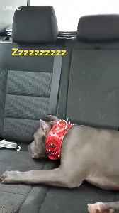 How Adorable of Tired Dog Car Ride [Video]