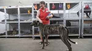 Behind the greyhound racing scene [Video]