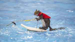 Twiggy the Waterskiing Squirrel gives her last performances at Orlando Boat Show