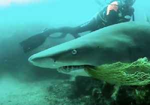 Brave Byron Bay Diver Rescues Shark Caught on Netting From 'Terrible Death' [Video]