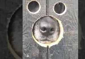 Nosy Labrador Duo Try Out Peepholes in Gate [Video]