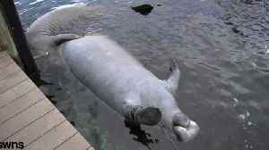 Sea World First Aid Resource For Sick Manatees [Video]