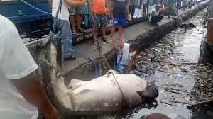 Whale Shark Found Dead In Plastic Pollution [Video]