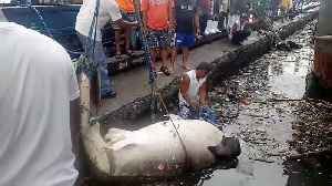 Heartbreaking moment endangered whale shark is found dead covered in plastic pollution [Video]