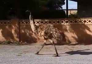 Thirsty Emus Invade Town to Escape New South Wales Drought [Video]