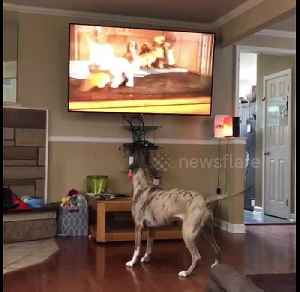 Pit bull wants to play with cartoon puppy on TV [Video]