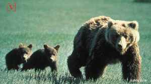 Adult Female Grizzly Injures 10-year-Old Boy [Video]