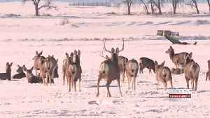 Drought and winter storms bring deer into Butte County [Video]