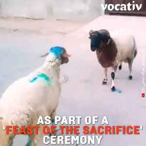 Sheep Fighting Is A Tradition In Algeria, Tunisia & Morocco But Muslim Clerics And Animal Rights Oppose It [Video]