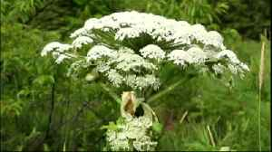 VIDEO: Toxic plant takes root in 17 Pennsylvania counties, some local [Video]