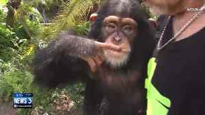 Lola's Lowdown: A chimp goes bananas [Video]