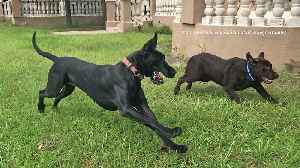 Great Dane runs zoomies with Labrador friends [Video]