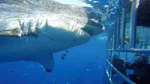 Enormous Great White rams into diver cage [Video]