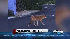 How to protect your pets from coyotes [Video]