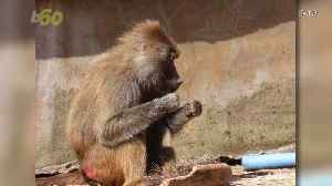 Baboons Spotted Flossing Their Teeth at the Zoo [Video]