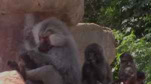Teeth-flossing baboons spotted at Paignton Zoo [Video]