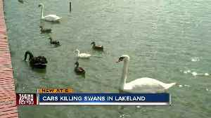 City of Lakeland evaluates traffic safety after 5 swan deaths [Video]
