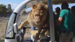 Lion Gets Way Too Close to Tourists on Safari [Video]
