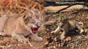 The World's First 'Test Tube' Lion Cubs Give Hope For Endangered Big Cats [Video]