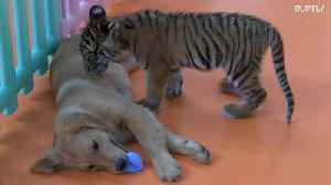 Puppies play with abandoned lion and tiger cubs at Beijing zoo [Video]