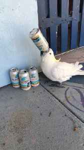 Cockatoo Wants a Cold One [Video]