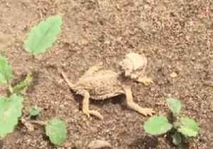 Tiny Horned Lizard Hatchlings Explore Their New Home [Video]
