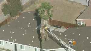 Tree Trimmer Found Dead Inside Large Palm In Hacienda Heights [Video]