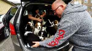 13 puppies loaded into car are a serious handful [Video]