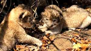 Lion cubs conceived through artificial insemination for first time [Video]