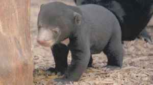Adorable Sun Bear Cub Plays During Public Debut at Chester Zoo [Video]