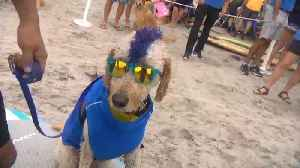 Surfing Dogs Ride the Waves in Style at Annual California Competition [Video]